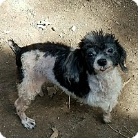 Toy Poodle Dog for adoption in Hurst, Texas - Tripoli