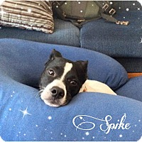 Pointer Mix Dog for adoption in Pittsburgh, Pennsylvania - Spike