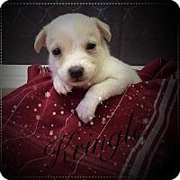 Adopt A Pet :: Kringle - Shreveport, LA