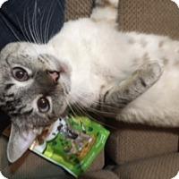 Siamese Cat for adoption in El Dorado Hills, California - Snowbell