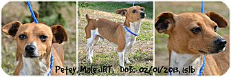 Jack Russell Terrier Dog for adoption in Siler City, North Carolina - Petey