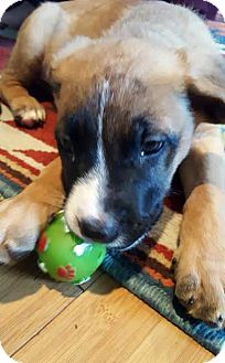 German Shepherd Dog/Retriever (Unknown Type) Mix Puppy for adoption in Detroit, Michigan - Fisbee-Adopted!