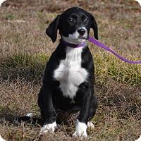 Adopt A Pet :: Mandy - Lebanon, MO