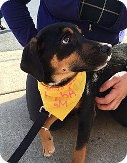 Hound (Unknown Type)/Australian Cattle Dog Mix Puppy for adoption in Rockville, Maryland - Baby Rose