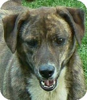 Shepherd (Unknown Type)/Labrador Retriever Mix Dog for adoption in Centerville, Tennessee - Brownie
