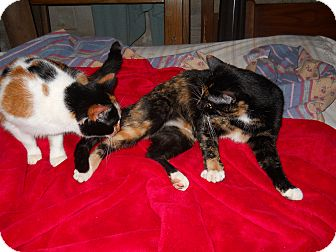 Calico Cat for adoption in Winder, Georgia - *Potchie