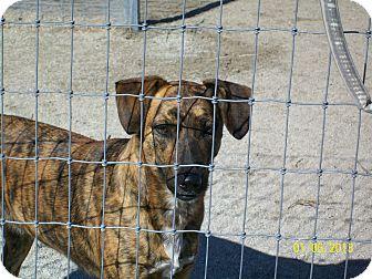 Catahoula Leopard Dog/Labrador Retriever Mix Dog for adoption in Mexia, Texas - Betty