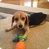 Adopt A Pet :: Darla - Alexandria, VA