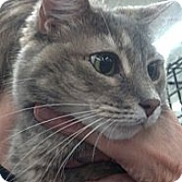 Adopt A Pet :: Sugar Pie (front declaw) - Sterling Hgts, MI