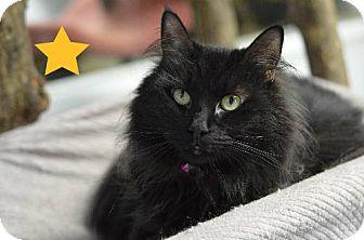 Domestic Longhair Cat for adoption in Atlanta, Georgia - Tinkerbell 9430