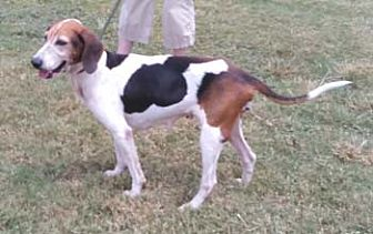 Treeing Walker Coonhound Dog for adoption in Seguin, Texas - Callie