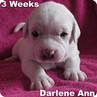 Adopt A Pet :: Jolene's Pup F7 - Darlene Ann - Tampa, FL