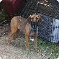 Adopt A Pet :: Haley-31488 - Hanover, PA