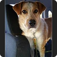 Australian Shepherd/Labrador Retriever Mix Dog for adoption in Hickory, North Carolina - Boomer