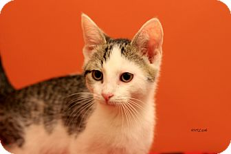 Domestic Shorthair Kitten for adoption in Flushing, Michigan - Brice