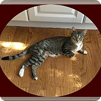 Domestic Shorthair Cat for adoption in Mt. Prospect, Illinois - Tootsie Roll