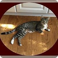 Adopt A Pet :: Tootsie Roll - Mt. Prospect, IL