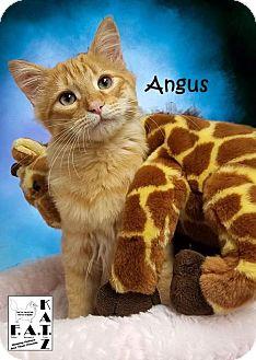 Domestic Mediumhair Kitten for adoption in Albuquerque, New Mexico - Angus