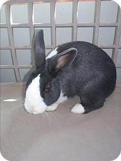 Dutch Mix for adoption in Olivet, Michigan - bunny
