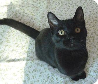 Domestic Shorthair Kitten for adoption in Toronto, Ontario - Michael