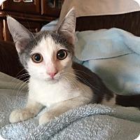 Adopt A Pet :: Schnapps - Lombard, IL