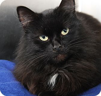 Domestic Longhair Cat for adoption in Marietta, Ohio - Lady Diana (Spayed)