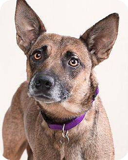 Shepherd (Unknown Type)/Belgian Malinois Mix Dog for adoption in Pt. Richmond, California - SEQUOIA MAMA