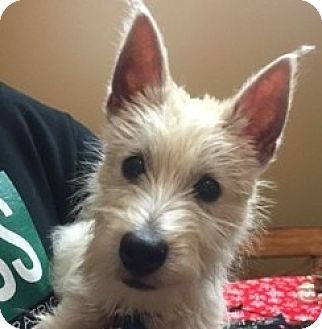 Westie, West Highland White Terrier Puppy for adoption in Omaha, Nebraska - Comet-Pending Adoption