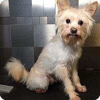 Yorkie, Yorkshire Terrier/Pomeranian Mix Dog for adoption in McKinney, Texas - Valiant
