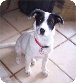 bella donna adopted puppy mcarthur oh border collie