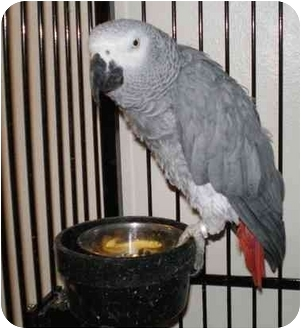 African Grey for adoption in Salt Lake City, Utah - Buddy