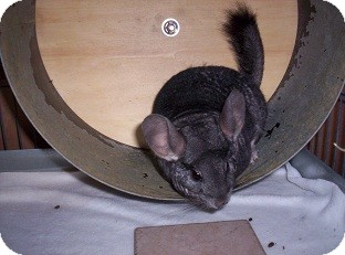 Chinchilla for adoption in Avondale, Louisiana - Chilly