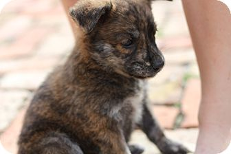 German Shepherd Dog Mix Puppy for adoption in Davie, Florida - Carly