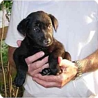 Adopt A Pet :: Mini Lab Babies - Kingwood, TX