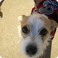 Adopt A Pet :: Labowski - Apex, NC