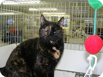 Domestic Mediumhair Cat for adoption in East Smithfield, Pennsylvania - Precious