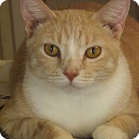 Domestic Shorthair Cat for adoption in Mesa, Arizona - Carmine