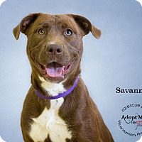 Adopt A Pet :: Savannah - Phoenix, AZ