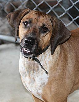 Rhodesian Ridgeback/Bluetick Coonhound Mix Dog for adoption in Myakka City, Florida - Ellie May