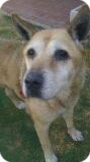 Akita/Shepherd (Unknown Type) Mix Dog for adoption in Pasadena, California - Roco
