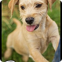 Adopt A Pet :: Dudley (POM-js) - Allentown, PA