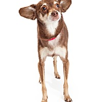 Adopt A Pet :: Brownie - Tempe, AZ