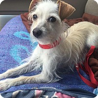 Terrier (Unknown Type, Small) Mix Dog for adoption in Upland, California - Blondie