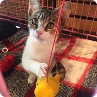 Calico Kitten for adoption in Burlington, North Carolina - CELINE