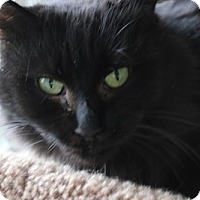 Maine Coon Cat for adoption in Wakefield, Massachusetts - Pappi
