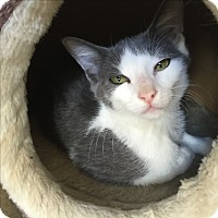 Domestic Mediumhair Cat for adoption in Richland Hills, Texas - Lacey