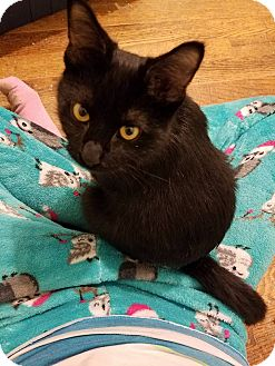 Domestic Shorthair Cat for adoption in Huntley, Illinois - Gidget