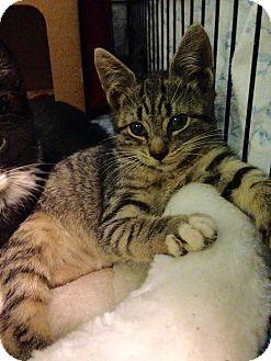 Domestic Shorthair Kitten for adoption in East Brunswick, New Jersey - Elaine