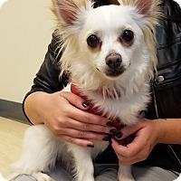Adopt A Pet :: Poro - Seattle, WA