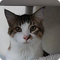 Adopt A Pet :: Swagger - Sarasota, FL